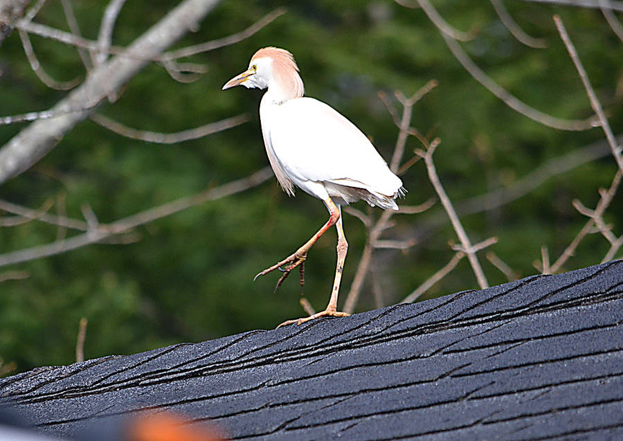 <p>GAYLE WILSON PHOTO</p><p>&#0010;A cattle egret spotted sunning itself on a garage roof in Blockhouse. It might seem that the bird, which originally hails from Africa, is a long way from home. However, according to the Audubon Guide to North American Birds,<em> </em>the birds began spreading to northeastern South America in the 1870s and 1880s and are now abundant over much of the North American continent.</p>