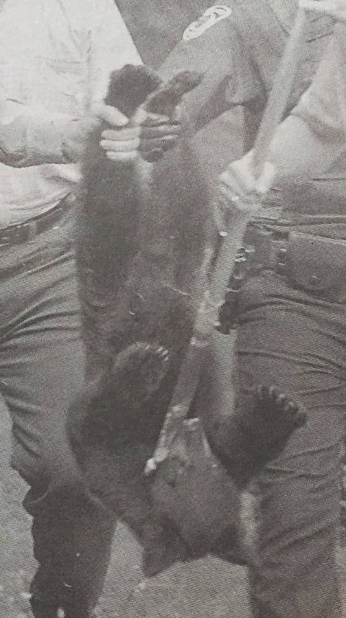 <p>FILE PHOTO</p><p>A bear taken into custody in the early 2000s in Bridgewater.</p>