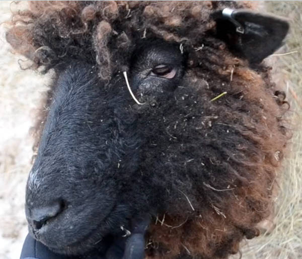 <p>KEITH CORCORAN, PHOTO</p><p>A wooly friend at Ross Farm in New Ross.</p>