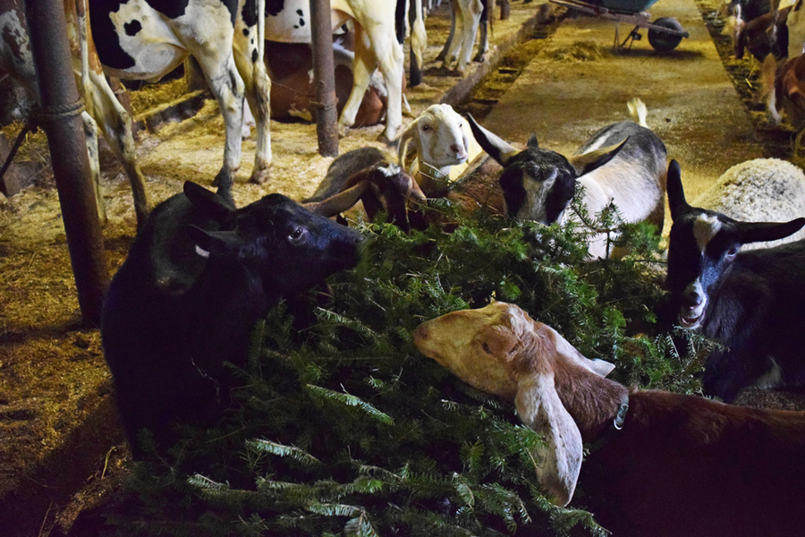 Lighthousenow  Christmas Trees A Treat For Goats