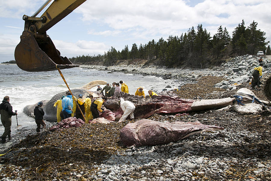<p>BRITTANY WENTZELL PHOTO</p><p>Crews from various universities, museums, as well as the Department of Fisheries and Oceans and the Marine Animal Response Society, performed a necropsy on a dead whale that washed up in East Berlin. The whale was spotted around May 2 in East Berlin and the necropsy performed over May 12 and 13.</p>