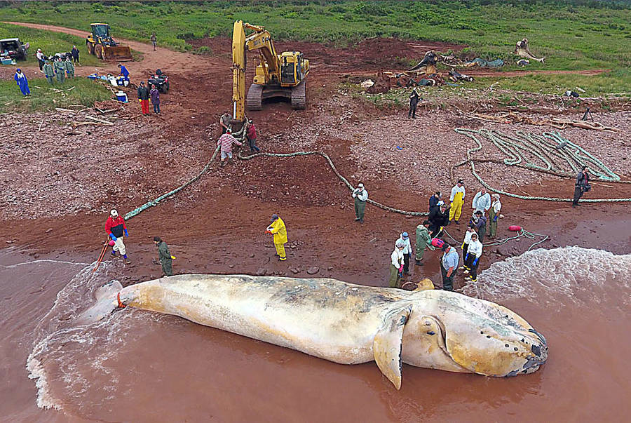 <p>MARS PHOTO</p><p>Preliminary results on necropsies performed in P.E.I. of three North American right whales that died in the Gulf of St. Lawrence are expected within a week or so.</p>