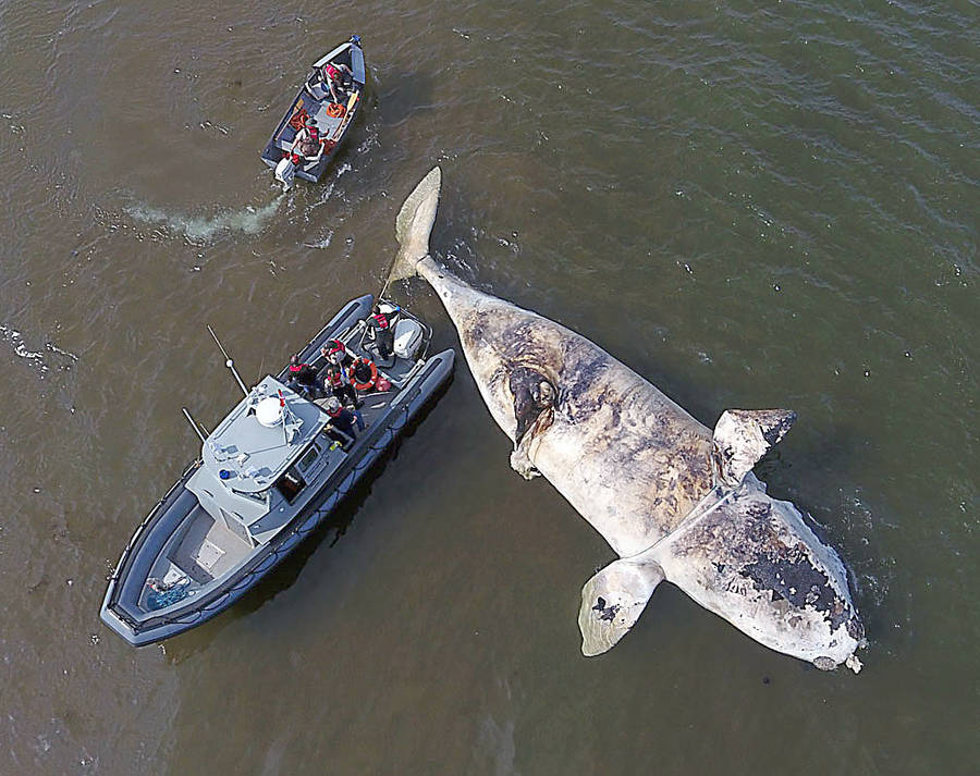 <p>MARS PHOTO</p><p>Vessel strikes and toxic algae are among the theories concerning the cause of death of six North American right whales found floating in the Gulf of St. Lawrence in June, three of which were towed onto shore in western P.E.I. for investigation.</p>