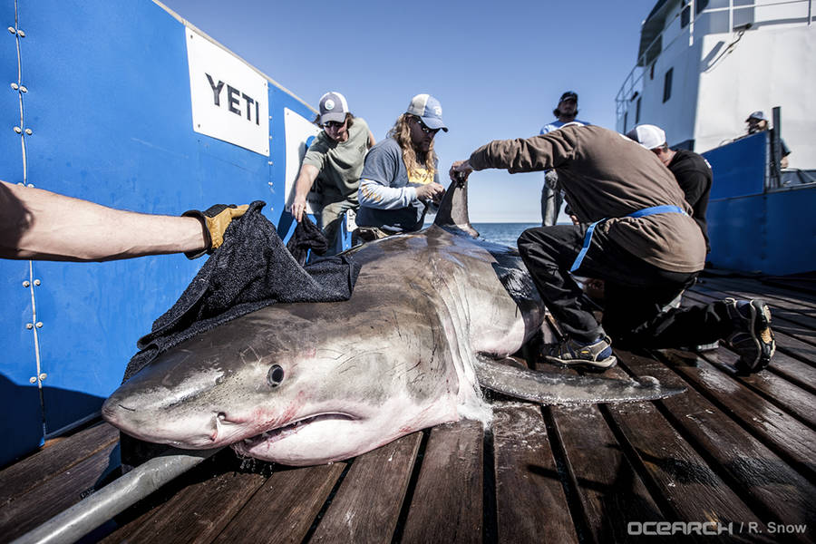 <p>OCEARCH PHOTO</p><p>Hilton the great white shark endures receiving an acoustic monitoring tag.</p>
