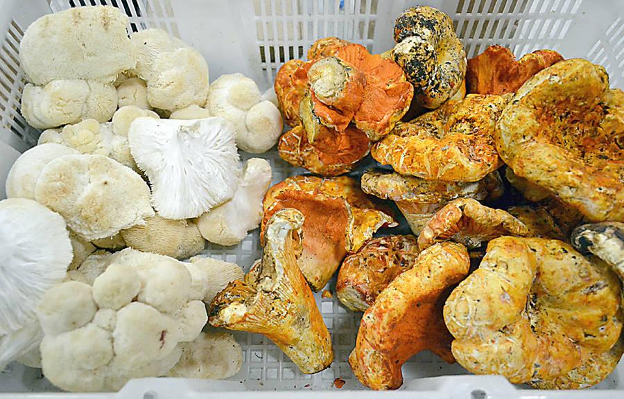 <p>GAYLE WILSON PHOTO</p><p>Greg Doyle forages for Lion's Mane (left) and Lobster mushrooms to sell to restaurants and at farmers markets</p>