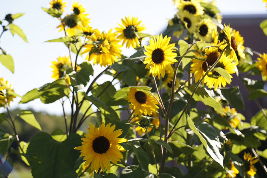 <p>Sunflowers growing at West Northfield Elementary.</p>
