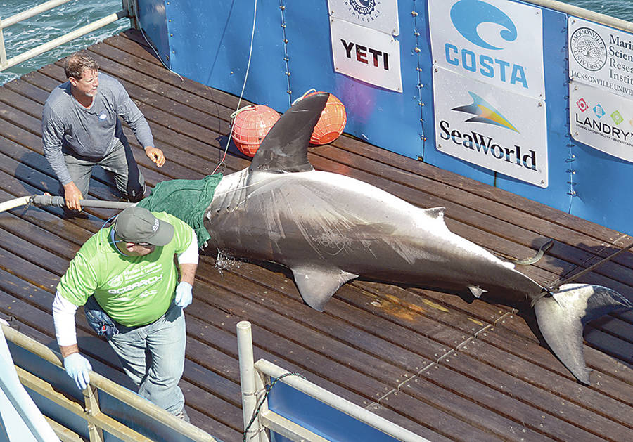 <p>KEITH CORCORAN, PHOTO</p><p>A researcher boards the lift on MV Ocearch to take samples and tag a mature male great white shark September 24 that Ocearch would later name Nova. MV Ocearch Capt. Brett McBride, top, tends to the animal.</p>